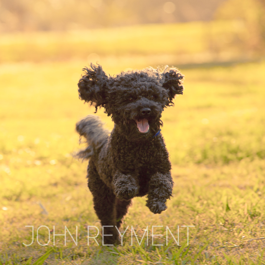 black spoodle running in the park